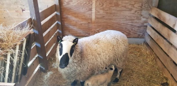 Lammetjes en geitje geboren in de Kraam stal.